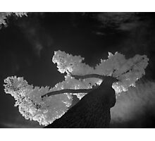 white tree Photographic Print