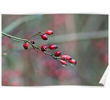 Raindrops on rose hips Poster