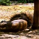 Sleeping in the shade by Heidi Mooney-Hill