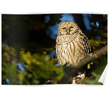 Autumn Barred Owl Poster