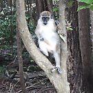 Bajan Green Monkey by LeaGerard