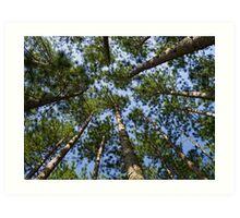 Conifer Canopy Art Print