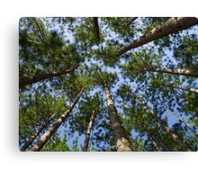 Conifer Canopy Canvas Print