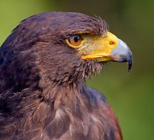 Harris' Hawk Portrait by Keld Bach