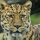 Endangered Amur by Mark Hughes