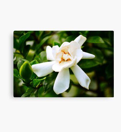 Yellow-White Flower (White gardenia) Canvas Print