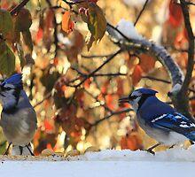 Alberta Blue Jays by Michelle Burton