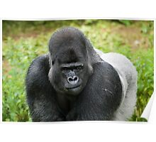 Western Lowland Gorilla, Silverback Poster