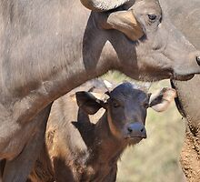 Buffalo and Calf by jeff97