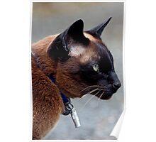 Havana Brown Cat Poster