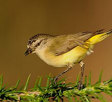 Yellow-rumped Thornbill  3# by DIZZYHEIGHTS