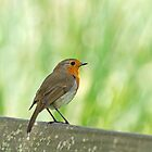 European Robin Perched on Seat by Sue Robinson