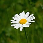 Wild Flower Ox-eye Daisy by Sue Robinson