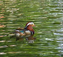 Mandarin Duck and Ripples by Sue Robinson