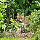 Red Fox Cub hiding by Sue Robinson