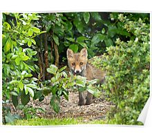 Red Fox Cub hiding Poster