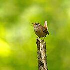 Winter Wren Singing in Woodland by Sue Robinson