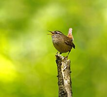 Winter Wren Singing in Woodland by Sue Robinson