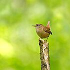 Winter Wren on Branch in Woodland by Sue Robinson