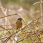 Common Stonechat by Sue Robinson