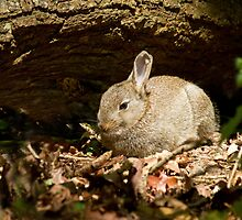 Young Rabbit in Woodland by Sue Robinson