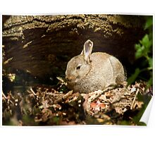 Young Rabbit in Woodland Poster