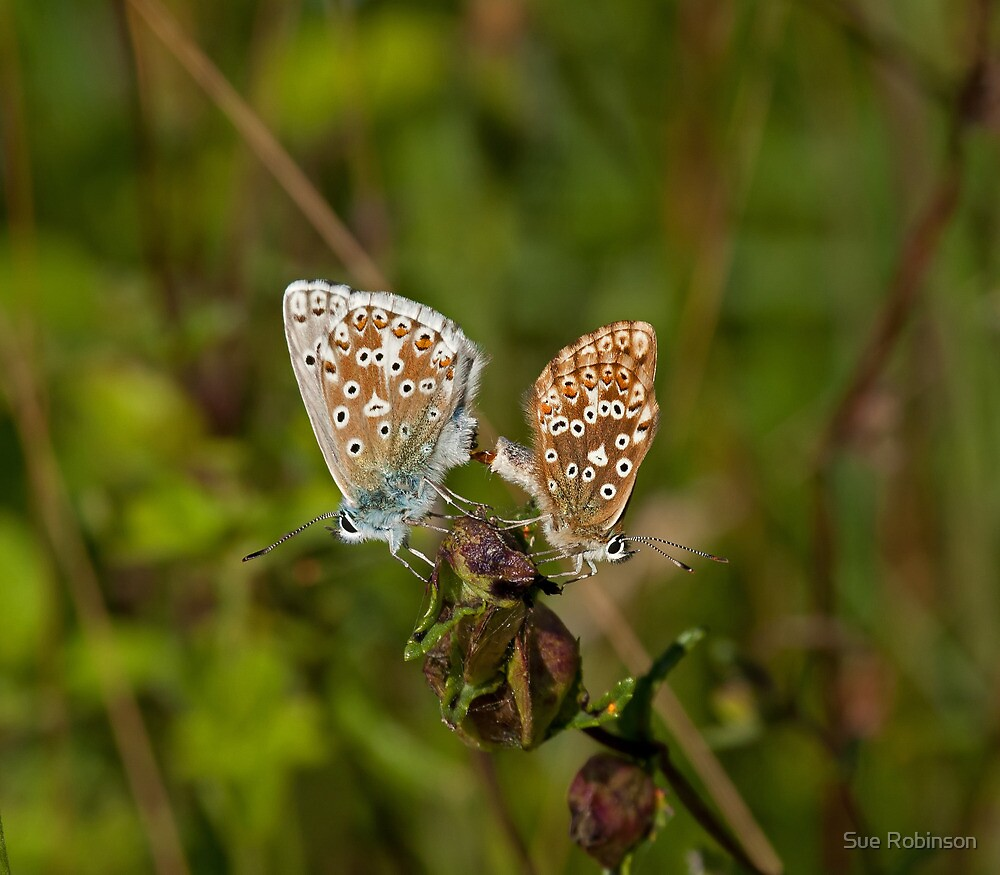 Chalkhill Blue Butterflies Mating by Sue Robinson