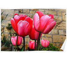 Pink Tulips at Larnach Castle Poster