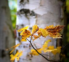 White Birch, Yellow Leaves by Chris Coates