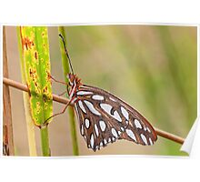 Gulf Fritillary Butterfly Glistening with Dewdrops Poster