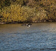 American Bald Eagle over the Fox River by Thomas Young