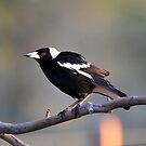 Australian Magpie. Cedar Creek, Queensland, Australia. by Ralph de Zilva