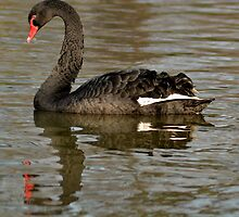 Black Swan  by skid