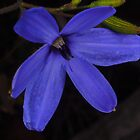 wild blue Laxmanniaceae by peterbeaton