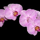 Orchid in Pink and White by cclaude