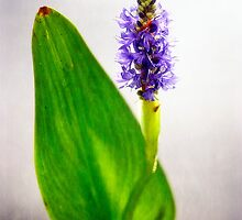 PICKEREL, BLUE (Pontederia cordata) by Charles Dobbs Photography