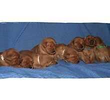 Sweet Dreams Golden Retriever Style- The WILD BUNCH Litter by goldnzrule