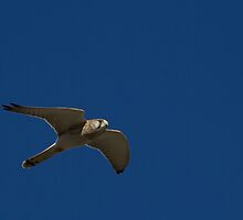 Flying Kestrel by Withns