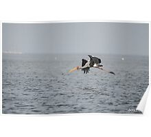 Painted Stork in Flight Poster