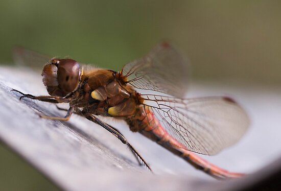 Bathing DragonFly by Matt Sillence