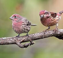 Purple Finch And House Finch Comparison by Gary Fairhead