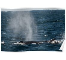 Whale breathing through blowhole on the ocean surface, Australia Poster
