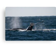 Whale diving showing tail fin downward, Australia Canvas Print