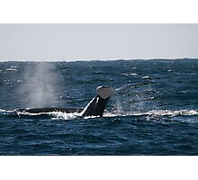 Whale diving showing tail fin downward, Australia Photographic Print