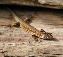 iberian wall lizard by Steve Shand