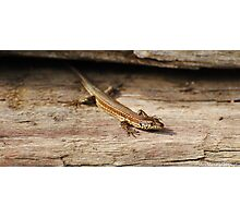 iberian wall lizard Photographic Print