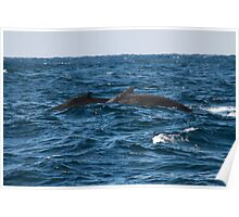Two whales on the ocean surface, Australia Poster