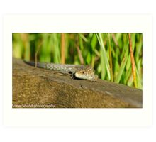 common lizard (norfolk uk) Art Print