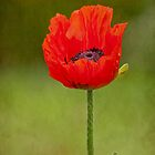 Oriental Poppy by Margaret S Sweeny