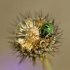 Green Shield Bug on Scabious by Sue Robinson
